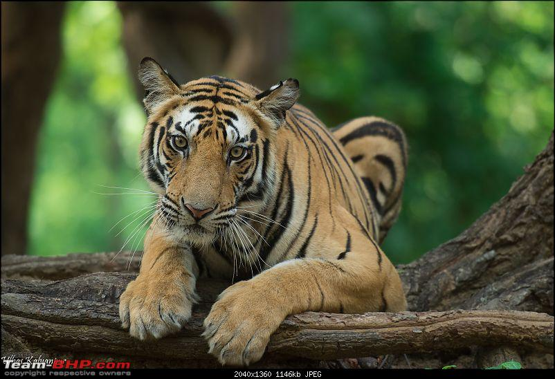 Tadoba Wilderness!-rajbehra-sub-adult-male.jpg