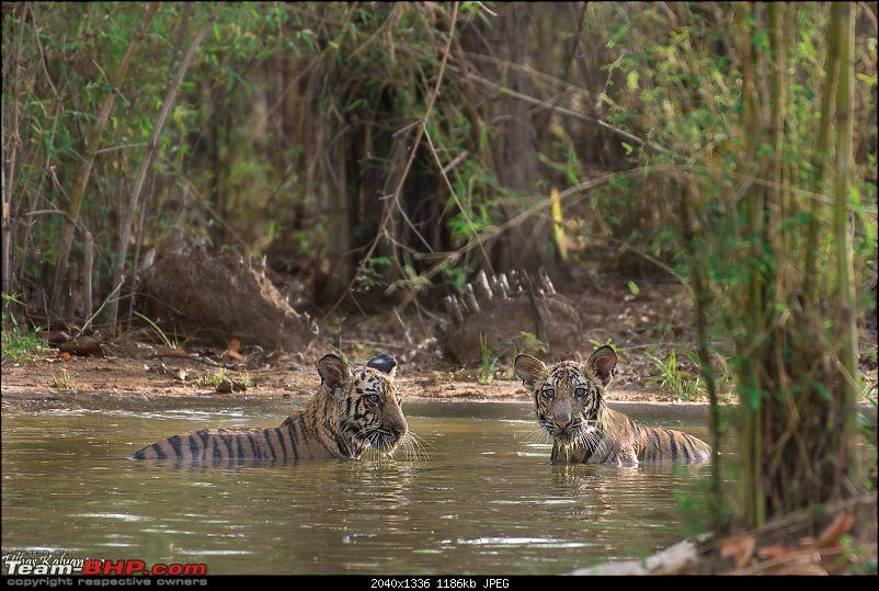 Tadoba Wilderness!-kankati-cubs.jpg