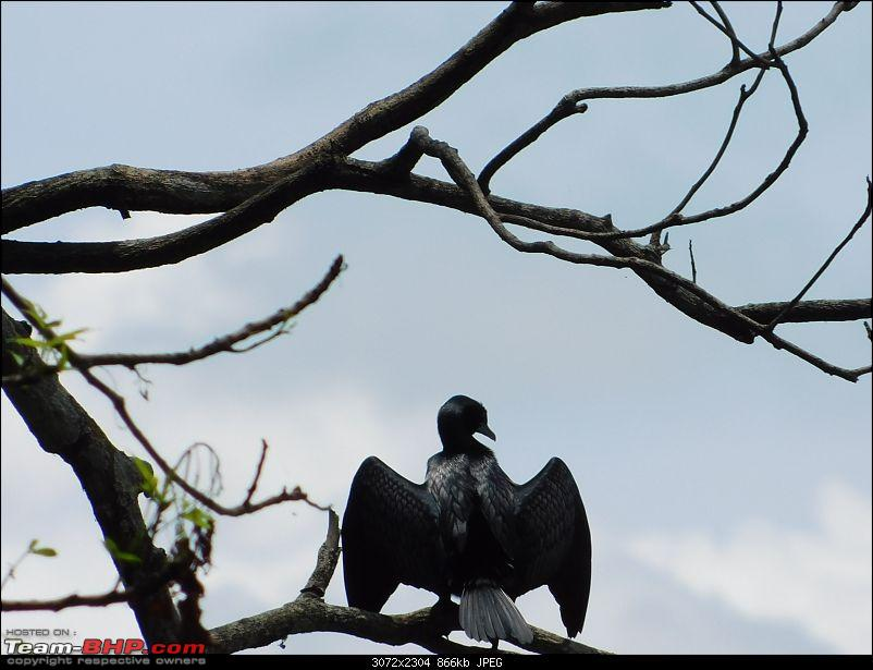 Tuskers of Chilapata : A thrilling drive to Northern Bengal & Bhutan-dscn1302blackbird.jpg