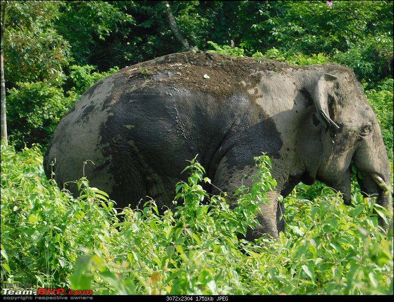 Tuskers of Chilapata : A thrilling drive to Northern Bengal & Bhutan-dscn1367tusker2.jpg