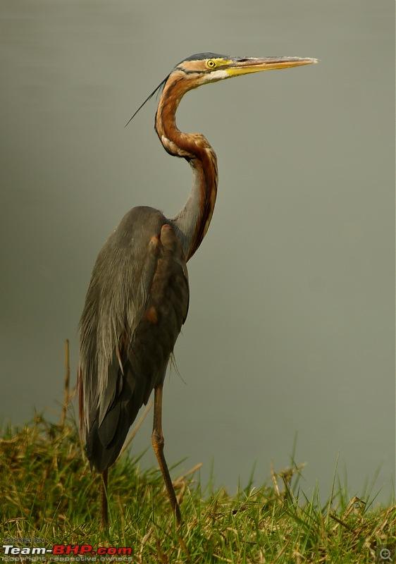 Birding around Mysore - A Photologue-purple-heron1.jpg