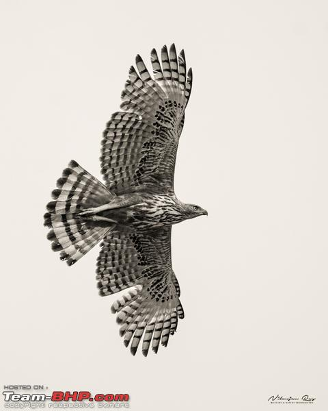 Name:  Changeable Hawk Eagle.jpg