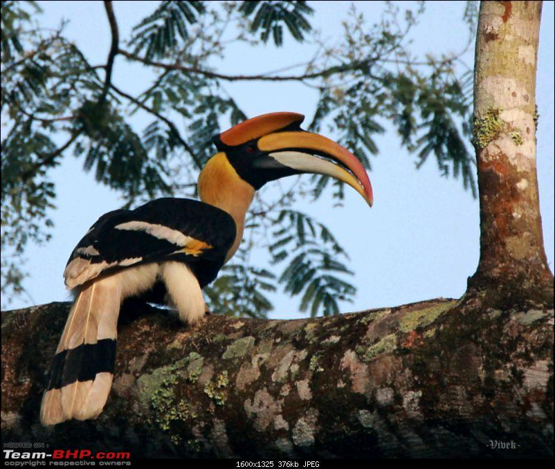 A day with the Great Hornbills of Nelliyampathy-img_04391600x1325.jpg