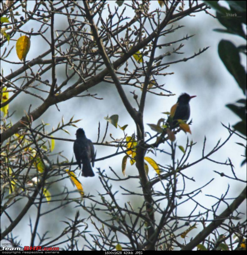 A day with the Great Hornbills of Nelliyampathy-img_05581600x1628.jpg