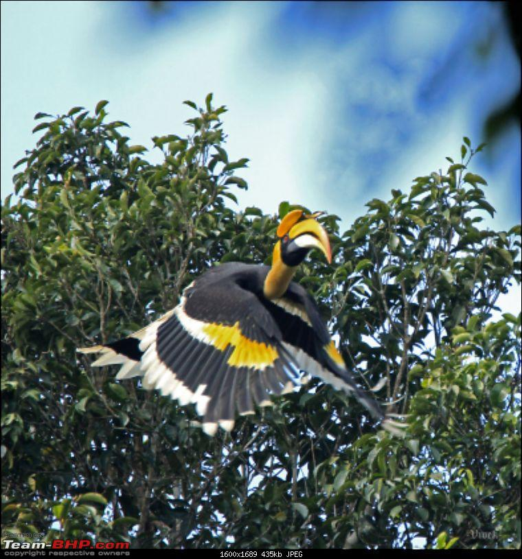 A day with the Great Hornbills of Nelliyampathy-img_07131600x1689.jpg