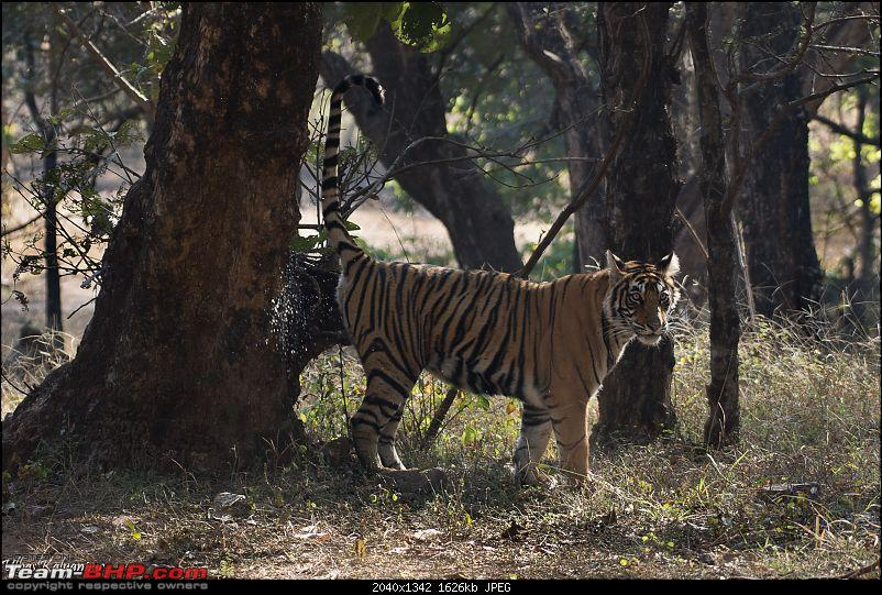 Ranthambore - Land of Forts, Hills & Tigers-21-noor-cubs.jpg