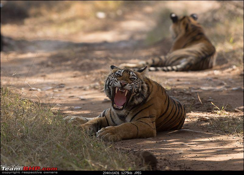 Ranthambore - Land of Forts, Hills & Tigers-22-noor-cubs1.jpg