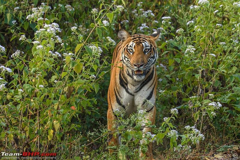 Tigress in the morning - Kabini-kbn1217013s.jpg