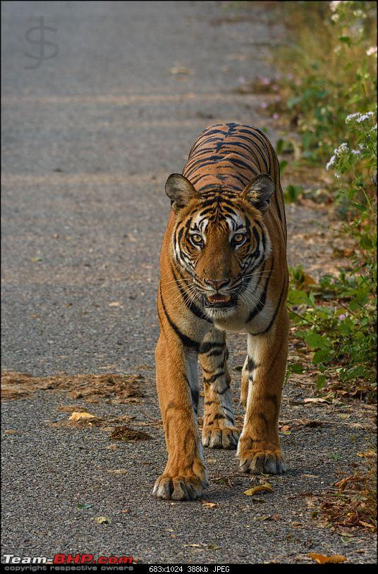 Tigress in the morning - Kabini-kbn1217047s.jpg