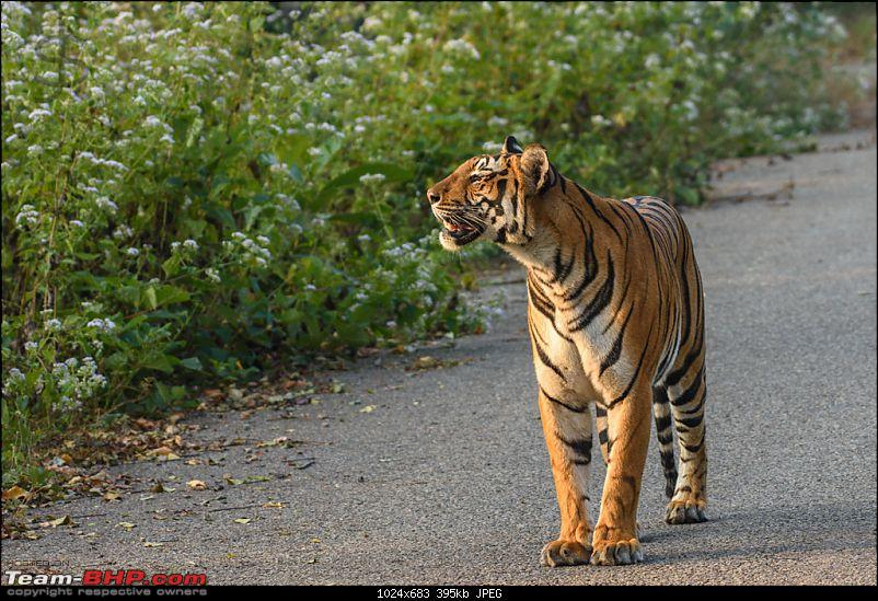 Tigress in the morning - Kabini-kbn1217085s.jpg