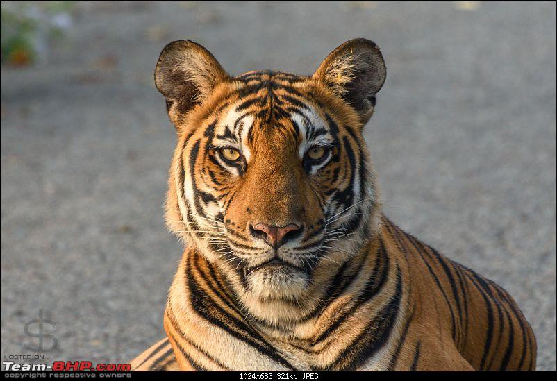 Tigress in the morning - Kabini-kbn1217136s.jpg