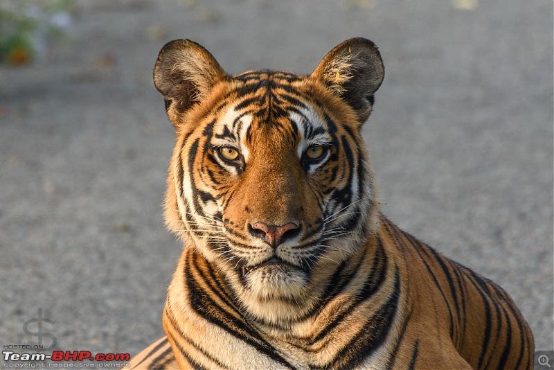Tigress in the morning - Kabini-kbn1217136s.jpg