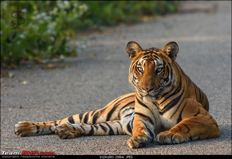 Tigress in the morning - Kabini-kbn1217210s.jpg