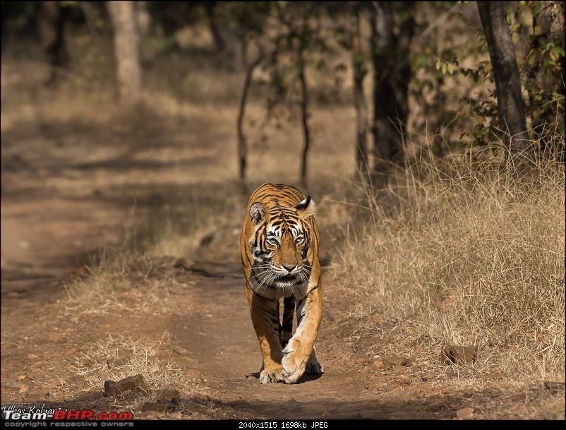 Ranthambore - Land of Forts, Hills & Tigers-noor-afternoon.jpg