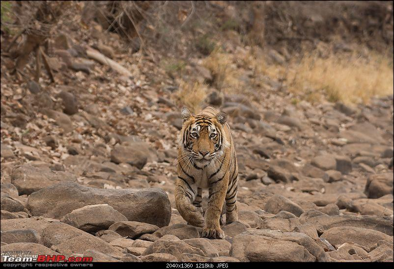 Ranthambore - Land of Forts, Hills & Tigers-t60_sub_adult_on_rocks1.jpg