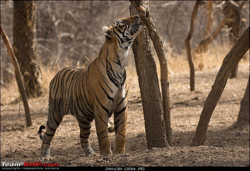 Ranthambore - Land of Forts, Hills & Tigers-t41s-sub-adult-sniffing.jpg