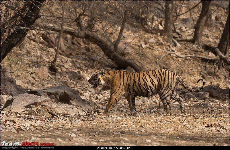 Ranthambore - Land of Forts, Hills & Tigers-t41s-son.jpg