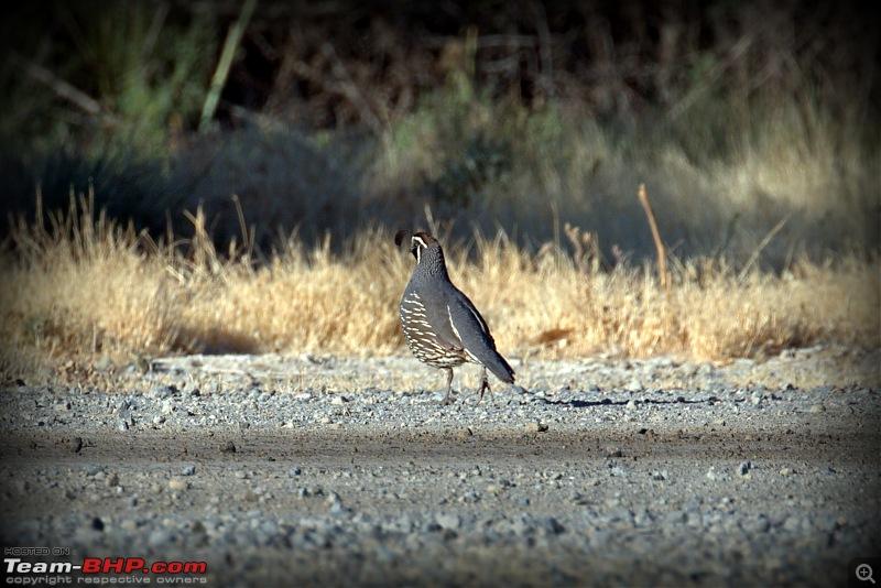 My Birding Experiments in the Bay Area, California-yosemite23rdjune2018-3california-quail.jpg