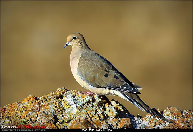 My Birding Experiments in the Bay Area, California-coyotehillsregionalpark30thsep2018-43mourning-dove.jpg