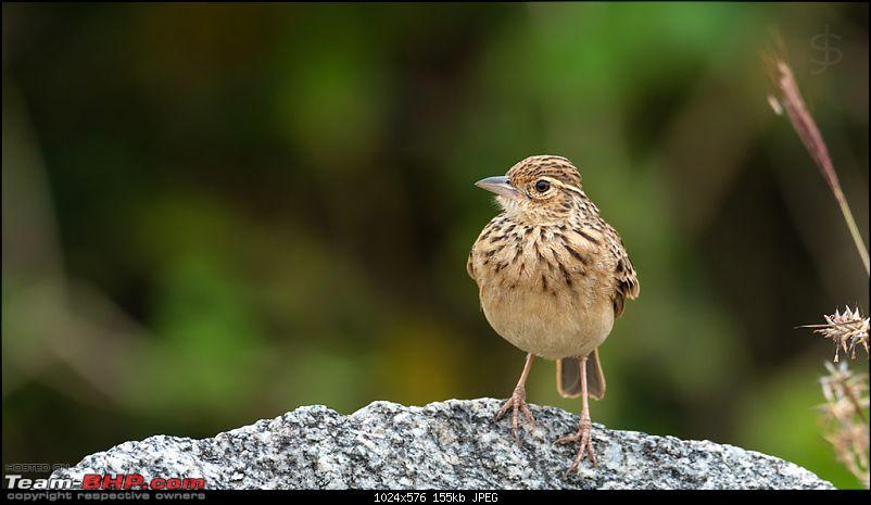 Kabini - It's like coming home!-003-female-common-stonechat.jpg