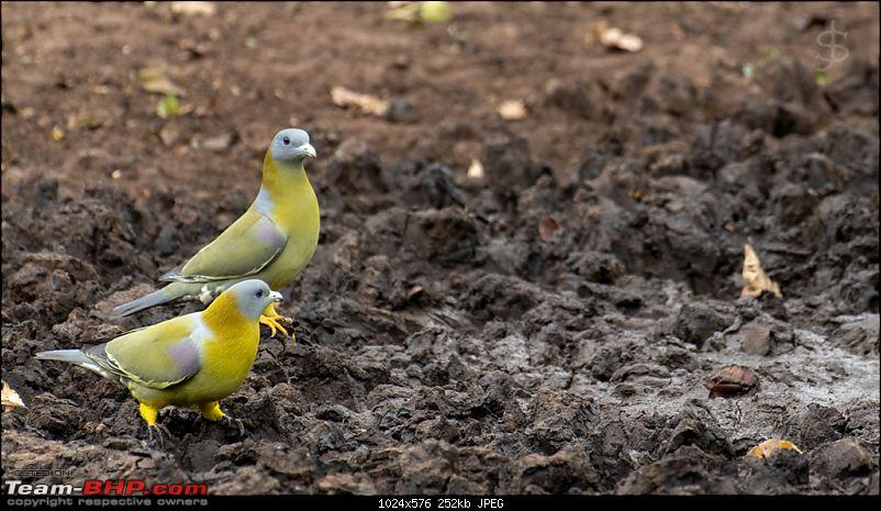 Kabini - It's like coming home!-005-yellow-footed-green-pigeon.jpg