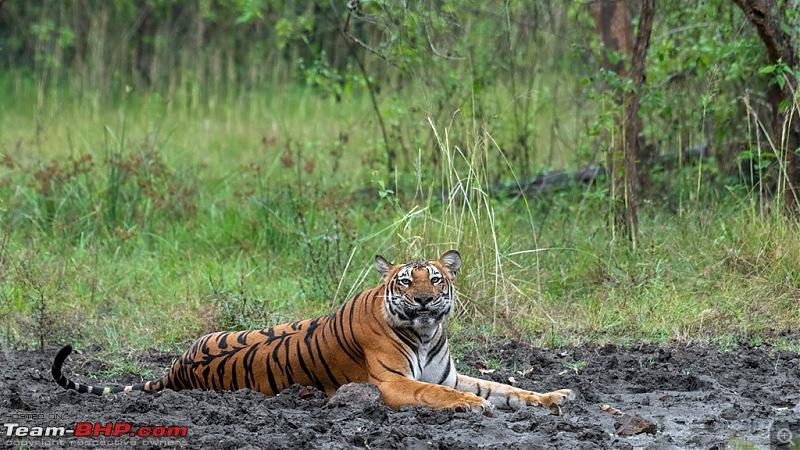 Kabini - It's like coming home!-020-tigress.jpg