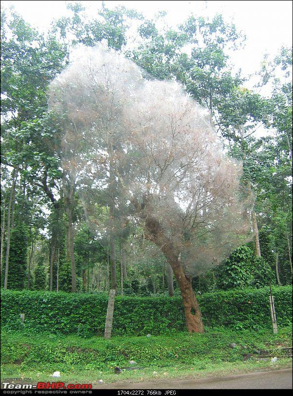 Swifted : Coorg-ghost-tree.jpg