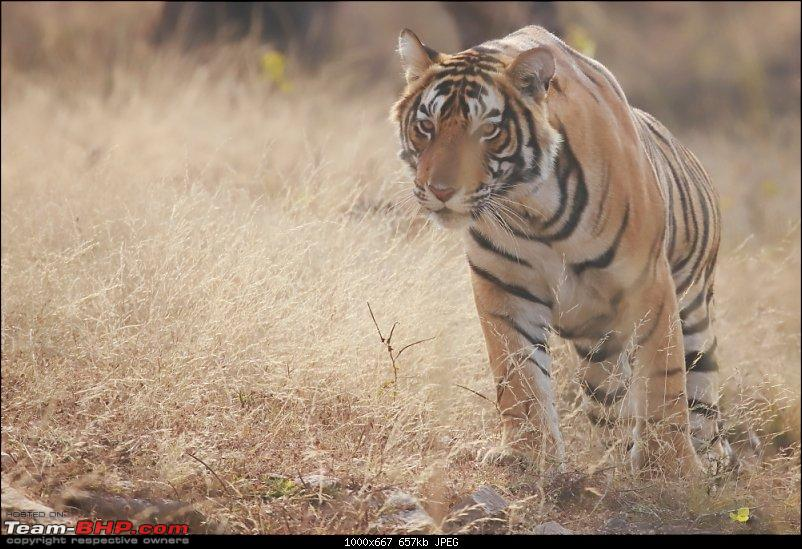 Forts, Birds and Tigers : A 4500 km 18 day road-trip to Rajasthan-_mg_6893.jpg