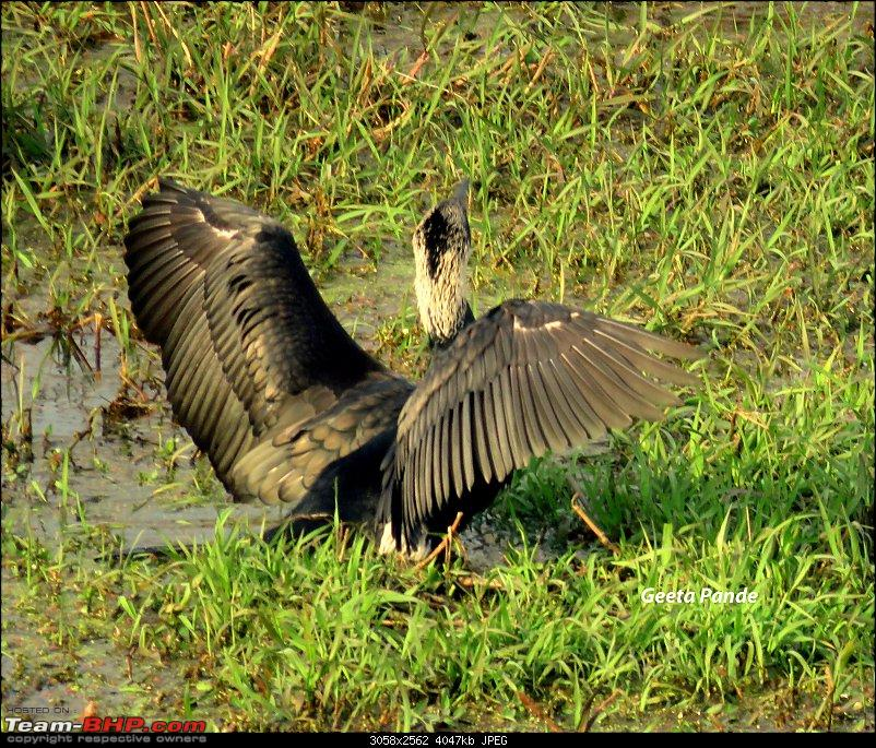 Into the Wild – Road trip to Dudhwa National Park & Tiger Reserve-darter.jpg