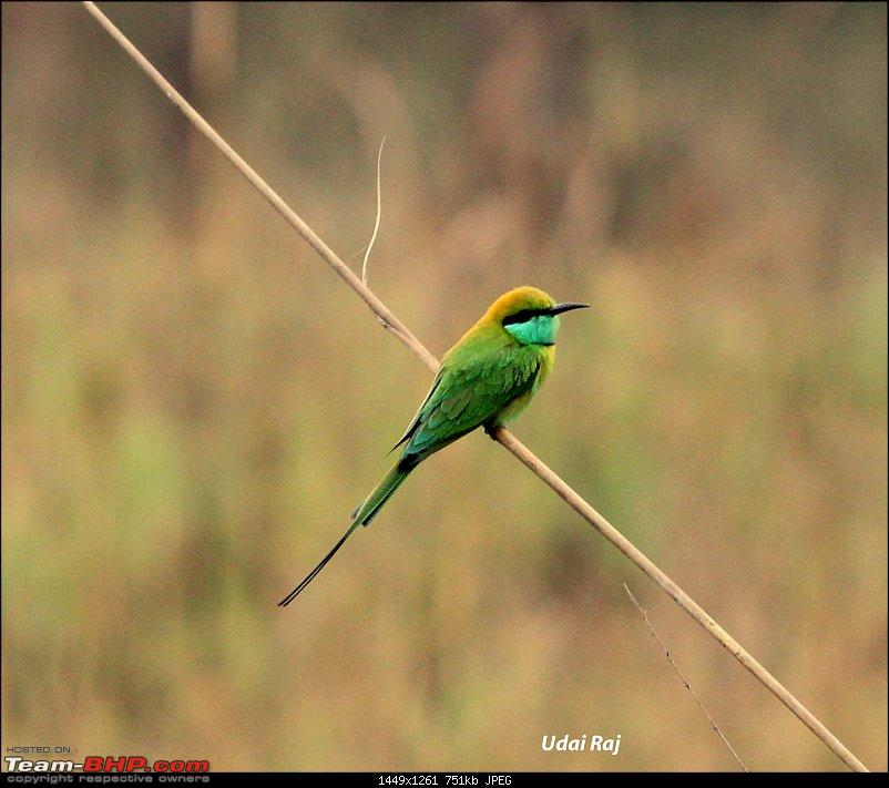 Into the Wild – Road trip to Dudhwa National Park & Tiger Reserve-green-bee-eater.jpg