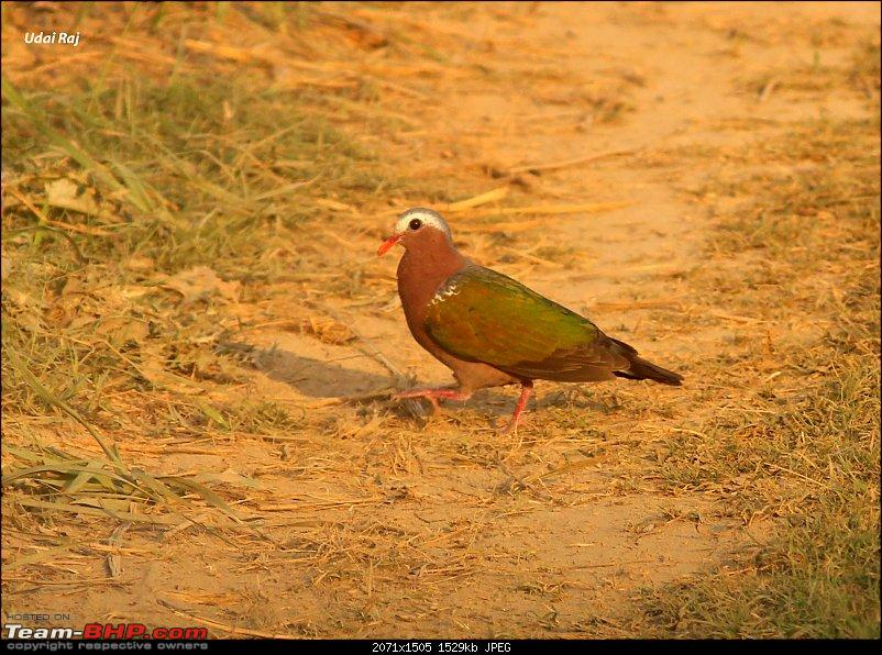 Into the Wild – Road trip to Dudhwa National Park & Tiger Reserve-emerald-dove.jpg