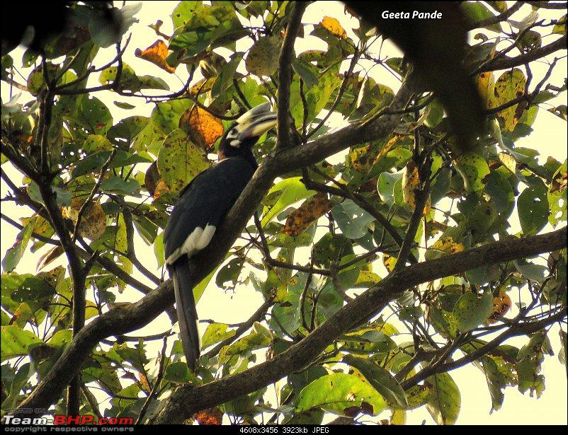 Into the Wild – Road trip to Dudhwa National Park & Tiger Reserve-pied-hornbill.jpg