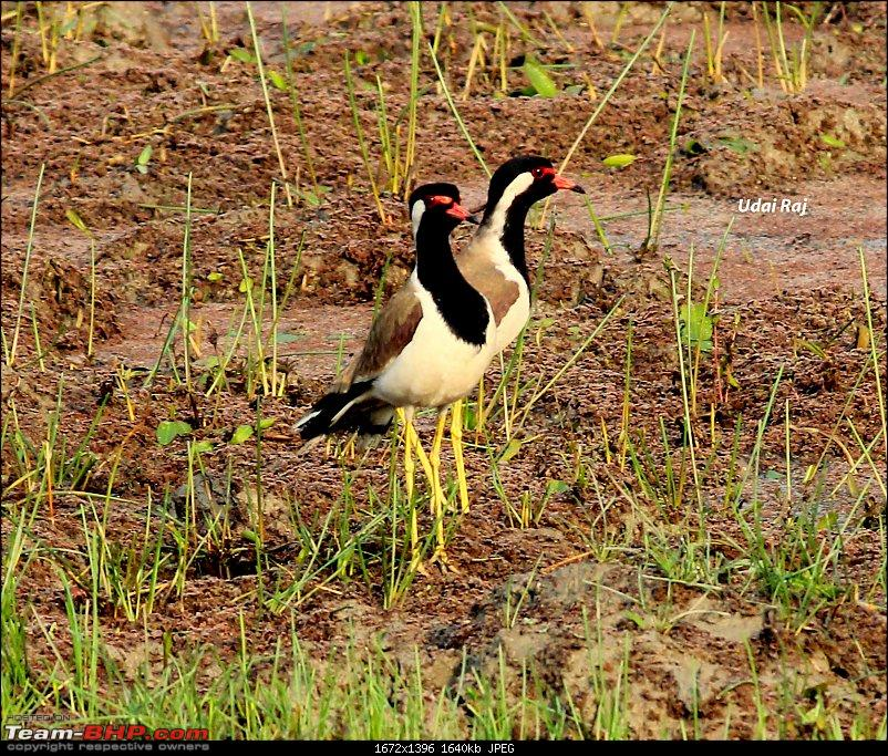 Into the Wild – Road trip to Dudhwa National Park & Tiger Reserve-red-wattled-lapwing.jpg