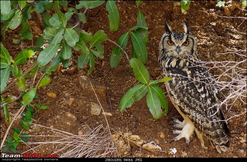 Hampi - Birds, Bears and Beautiful Temples-indian-eagle-owl.jpg