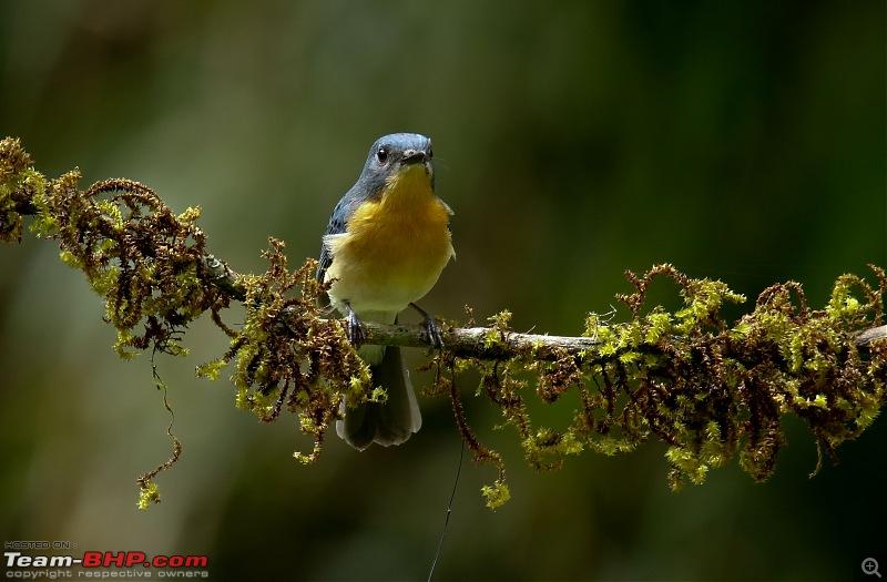Birds of Old Magazine House - Ganeshgudi, Dandeli-tickells-blue-flycatchter.jpg