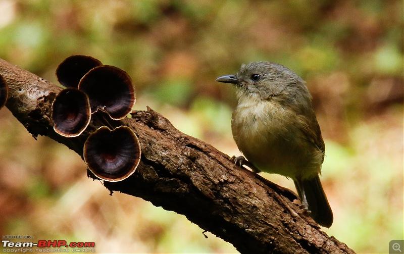 Birds of Old Magazine House - Ganeshgudi, Dandeli-browncheeked-fulvetta2.jpg