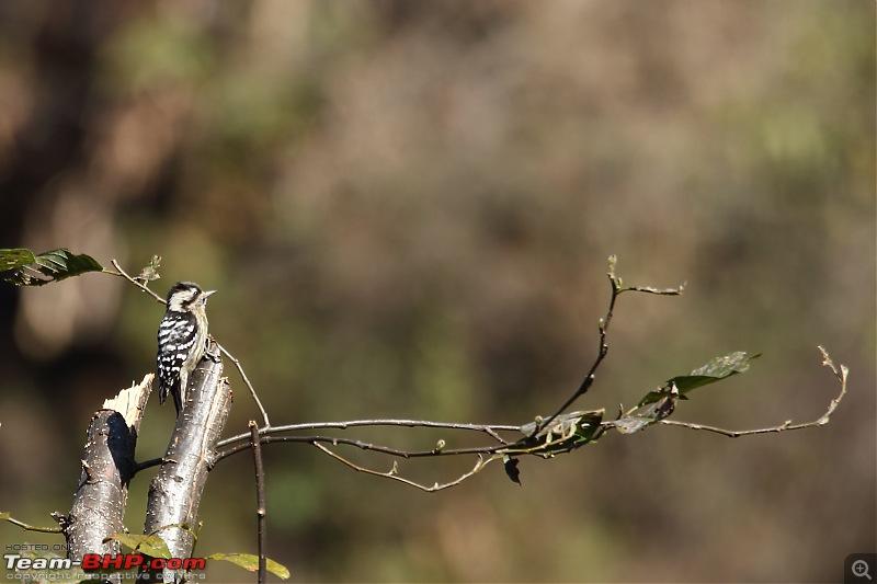 Birds of Himalayas - Sattal and Kedarnath Wildlife Sanctuary-123400000131.jpg