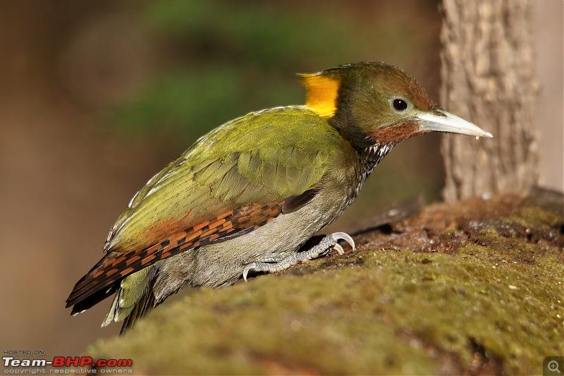 Birds of Himalayas - Sattal and Kedarnath Wildlife Sanctuary-yellow-naped.jpg
