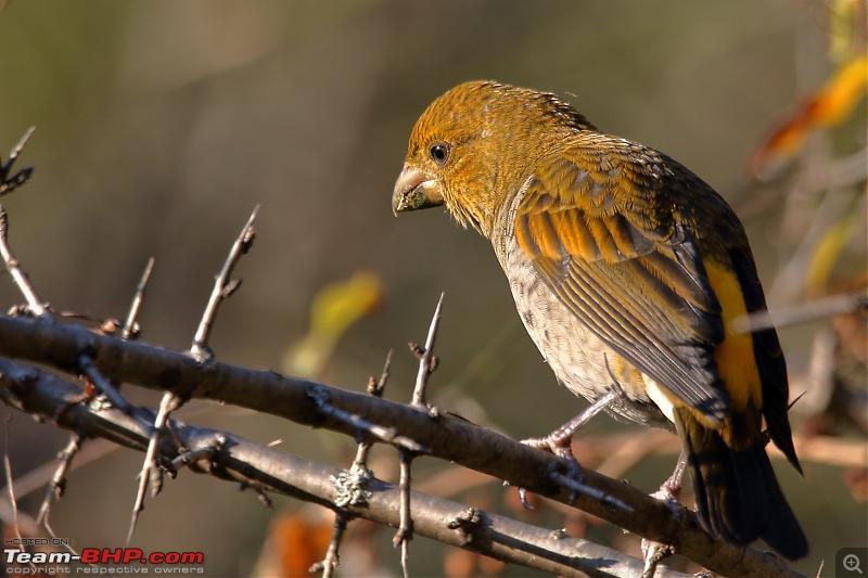 Birds of Himalayas - Sattal and Kedarnath Wildlife Sanctuary-scarlet-finch2.jpg