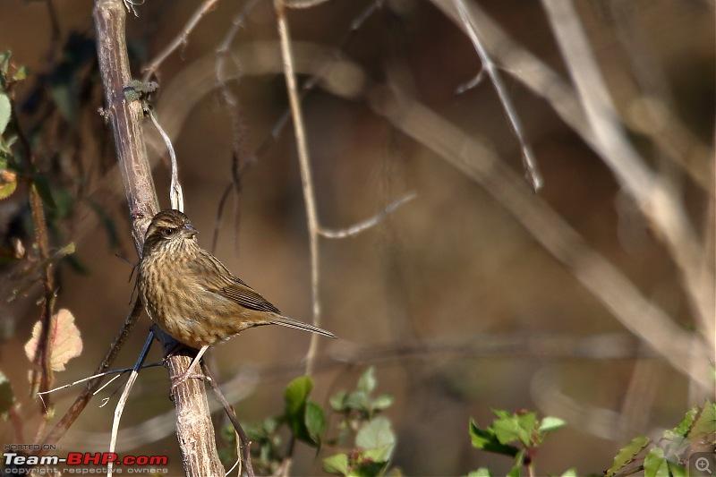 Birds of Himalayas - Sattal and Kedarnath Wildlife Sanctuary-pink-browed-rosefinch2.jpg