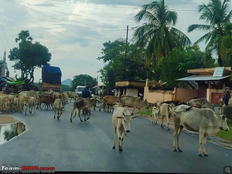 Drive to Scenic Massanjore & Serene Shantiniketan-07.-cows.jpg