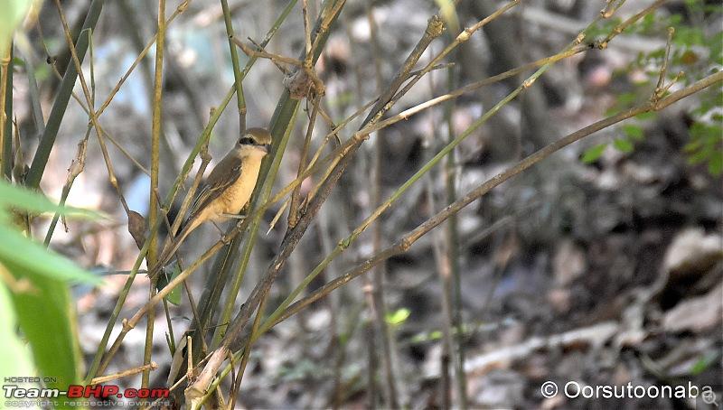 The Birds of Dandeli & Ganeshgudi-g2.jpg