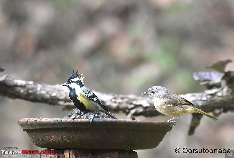 The Birds of Dandeli & Ganeshgudi-g10.jpg