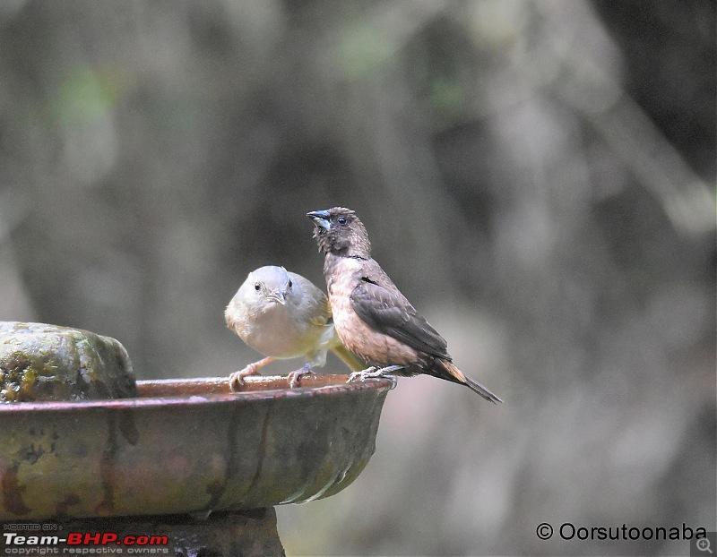 The Birds of Dandeli & Ganeshgudi-g15.jpg