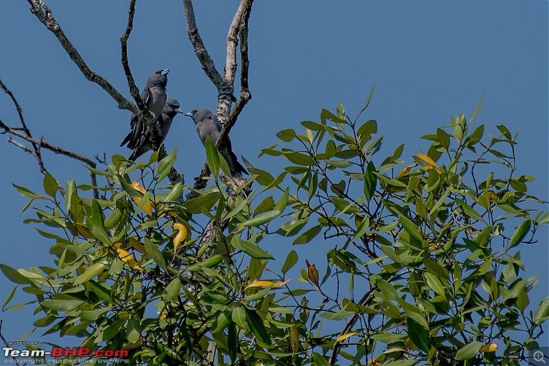 The mangroves have eyes | Wildlife at Sunderbans-_dsc9755denoiseaidenoise.jpg