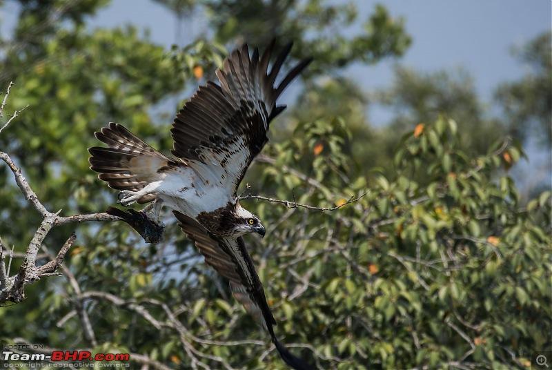 The mangroves have eyes | Wildlife at Sunderbans-_dsc0472denoiseaidenoise.jpg