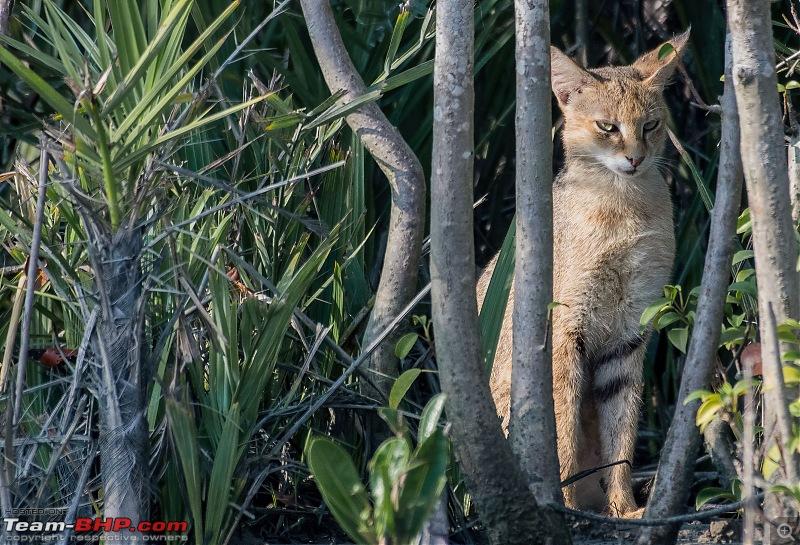 The mangroves have eyes | Wildlife at Sunderbans-_dsc0765denoiseaidenoise.jpg