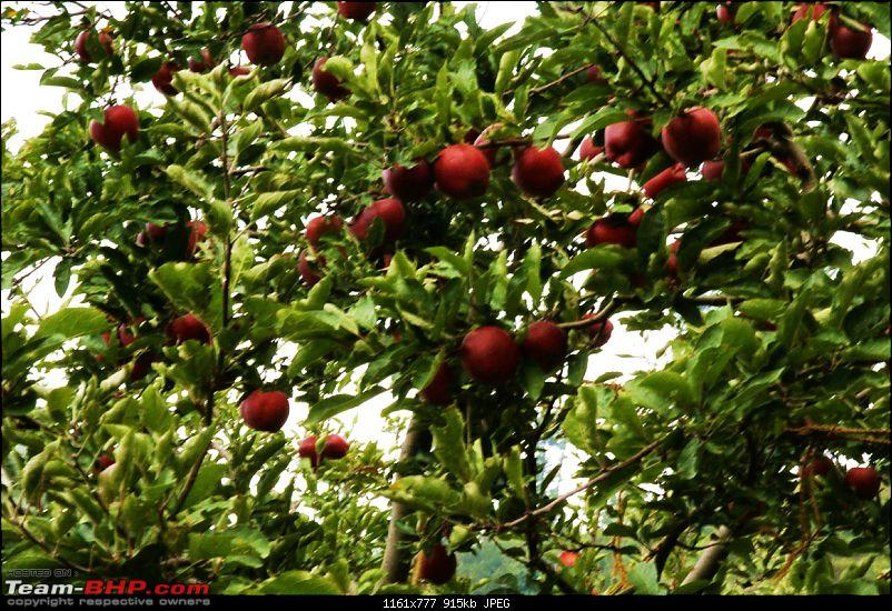 The Himachal Tribal Circuit - 2009-resized_42-red-apples.jpg