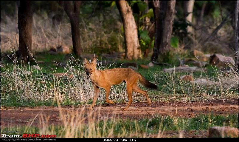Our Wild Classroom - Panna Tiger Reserve-dhole.jpeg
