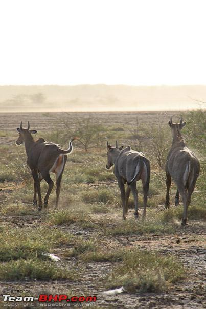 Name:  nilgai_run.jpg